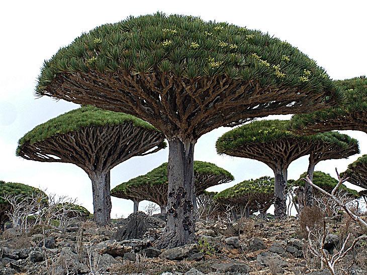 драконово дерево лес