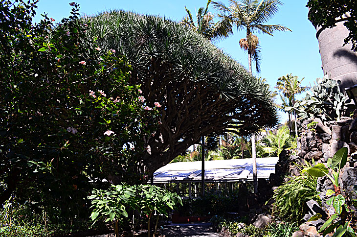 драконово дерево в саду